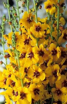 Verbascum Cotswold Queen. Yellow, dark purple centre. Verbascums are elegant bringing height and structure to the garden. Perfect cottage garden perennial plants or equally at home in the contemporary garden