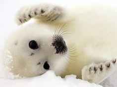 O filhote de foca nasce completamente branco...  Foto: AFP