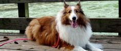 The one time I really needed my Collie to come to my rescue, he was nowhere to be found! Read on to find out how he suddenly appeared to save my life. Collie Dog, Pet Travel, Save My Life, Perfect World, Kids Events, Dog Pictures, Short Stories, Pet Care, Dog Love