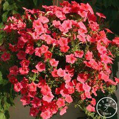 New Fresh Seeds 50 Pieces/pack Petunia Seeds Mix Petunia Hybrida Garden Home Bonsai Balcony Flower Petunia flower Seeds,#SG11Q1 #Affiliate