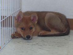 里親さんブログ預かり犬のコンコン - http://iyaiya.jp/cat/archives/78189