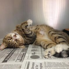 Today's Rescue  is a brown male tabby named Tom.  He is a doll.  He's available through Animal Rescue Force, Sayreville https://www.petfinder.com/petdetail/30231530/