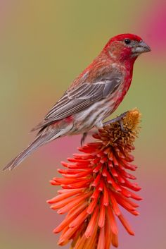 House Finch by Chris Hansen on 500px                              …