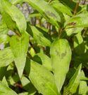 Vietnamese Herb Primer - many are good garden herbs we already use.