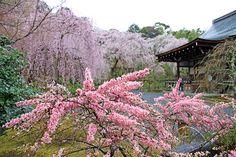 天龍寺  #京都 #春 #kyoto #spring #japan