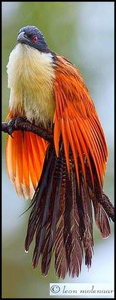 The Rainbird | Wild South Africa Kruger National Park #by Leon Molenaar #bird wildlife animal pet nature beautiful amazing wilderness