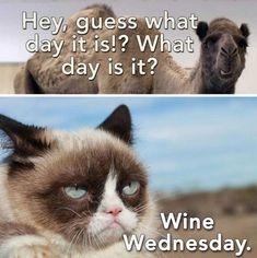 """15 Funny Wednesday Memes - """"Hey, guess what day it is! What day is it?"""" # wednesday Humor 15 Funny Wednesday Memes to Make Your Hump Day a Little Better Funny Wednesday Memes, Hump Day Humor, Monday Memes, Funny Happy, The Funny, Happy Memes, Wine Meme, Wine Funnies, Wine Wednesday"""