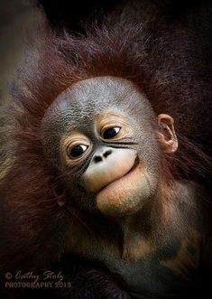 Good Hair Day by wildlife photographer Cathy Stolz. Portrait of baby orangutan. Happy Animals, Cute Baby Animals, Animals And Pets, Funny Animals, Primates, Cute Creatures, Beautiful Creatures, Animals Beautiful, Animal Pictures