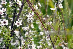 View top-quality stock photos of Manuka Tea Tree. Find premium, high-resolution stock photography at Getty Images. Stock Imagery, Tree Images, Kiwiana, Fresh Image, Evergreen Trees, Closer To Nature, Photo Tree, Medicinal Plants, Tea Tree Oil