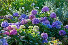 Close-up of beautiful Hydrangea macrophylla 'Bouquet Rose' - Flickr - Photo Sharing!