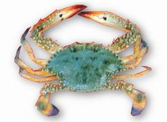 Japanese blue crab (Portunus trituberculatus), aka the gazami crab or horse crab, is the most widely fished species of crab in the world. It is found off the coasts of East Asia and is closely related to Portunus pelagicus.