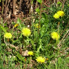 The humble dandilion is a very pretty flower....