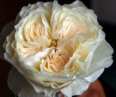 White Cloud - Rose de jardin - Roses - Fleurs par catégorie | Sierra Flower Finder