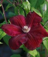 Rouge Cardinal Clematis (Clematis x 'Rouge Cardinal') - Monrovia - Brilliant, velvety crimson blooms on a woody vine with leathery-textured foliage. Makes a fine groundcover or climber for arbors, fences or onto tall shrubs. Deciduous.
