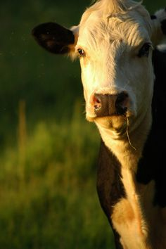 """Cow feeling like """"dude really I'm trying to relax in the sunset...moooove out of my light."""" LOL"""