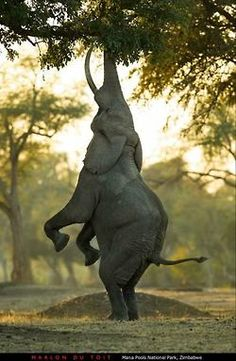 "Is this the Elephant version of the HANG IN THERE kitten poster? No, it's the ""Balancing Act."" Marlon du Toit took this beautiful Animal Photo at Mana Pools, Zimbabwe. Happy Elephant, Elephant Love, Elephant Eating, Bull Elephant, Animals And Pets, Funny Animals, Cute Animals, Wild Animals, Baby Animals"