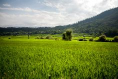 Green rice fields stretch to the horizon are surrounded by the green Himalaya mountains are a common landscape in Lolab valley, Kupwara district in northern Kashmir, India.