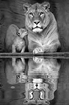 Uncredited - Lioness and cub. °