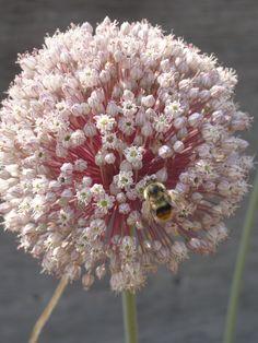 A garlic flower!