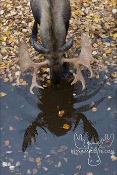 Beautiful moose reflection in fall Moose Deer, Moose Hunting, Bull Moose, Beautiful Creatures, Animals Beautiful, Cute Animals, Baby Animals, Moose Pictures, Animal Pictures