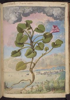 Callystegia soldanella, from De Materia Medica, a work on herbal medicine by Pedanius Dioscorides, 16th century edition. It depicts a wide range of plants against a backdrop of landscapes, often featuring populated scenes. Watercolour