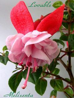 Райские птички в моем саду - Все о комнатных растениях на flowersweb.info И еще одна замечательная новая фуксия. Такое редкое сочетание цветов чашелистиков и юбки : чашелистики красные , а юбка чисто розовая.