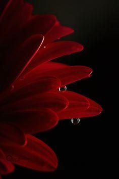 Pending Tears - Gerbera e gotas de água. fotografado em casa.