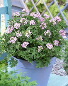 Fougere patte de lapin davallia mariesii plante for Plante odorante