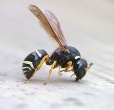 A female Odynerus simillimus Bees And Wasps, Insects, Weather, Female, Animals, Animales, Animaux, Animal, Animais