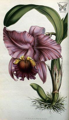 Crimson Cattleya. Cattleya labiata. Flore des serres et des jardins de l'Europe vol.7 (1851-1852) | by Swallowtail Garden Seeds