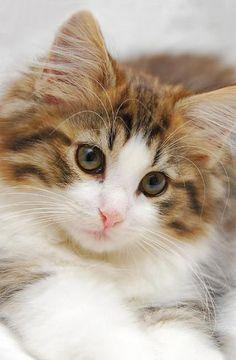♔ Norwegian forestcat ~ by Rukbat Cattery