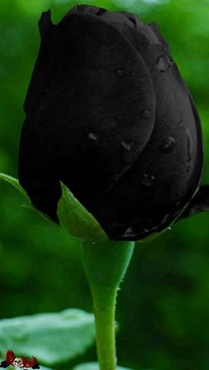 Garden Flowers - Annuals Or Perennials Rare Roses, Rare Flowers, Exotic Flowers, Colorful Flowers, Black Rose Flower, Beautiful Rose Flowers, Black Flowers, Black Roses Wallpaper, Flower Wallpaper