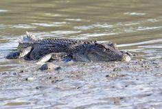 Australian Crocodiles - Information for the nervous tourist! Australian Crocodile, Crocodiles, Crocodile