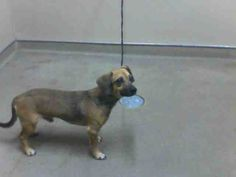 RICO-ID#A681511    My name is RICO.    I am a male, brown Dachshund mix.    The shelter staff think I am about 2 years old.    I have been at the shelter since Nov 02, 2012.