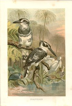 Pied Kingfisher Print Antique Color Lithograph by CarambasVintage