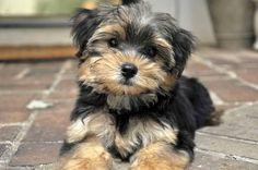 morkie. I want one!