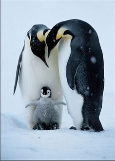 Emperor Penguins with Chick by kelseyinfo
