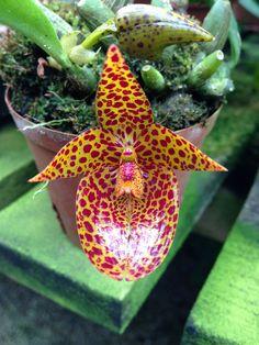 Bulbophyllum membraniifolium