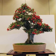 For container gardening ideas, search the internet, the library or a bookstore. The challenge is to come up with a pleasing container garden design. Bonsai Art, Bonsai Plants, Bonsai Garden, Garden Pots, Bonsai Trees, Container Gardening, Gardening Tips, Bougainvillea Bonsai, Feng Shui Plants