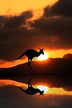 Kangaroo jumps at sunset