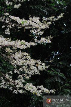 Ngỡ ngàng hoa sưa nở trắng tinh khôi ngập trời Hà Nội | Kênh14.vn