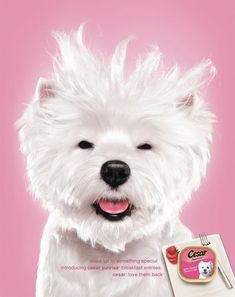 Advertising by Jill Greenberg  Caleb Johnson on American Idol !!   LOL   Love this beautiful Westie. Can't say my Westie is a show dog, but she's perfect for me.