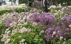 Growing eye-catching alliums is both easy and rewarding. Find out how and when to plant alliums and allium bulbs, in the ground or in pots, in our guide. Allium Flowers, Big Flowers, Daffodils, Dried Flowers, Allium Christophii, Mail Order Plants, Herbaceous Border, Astrantia, Lavender Garden