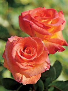 Looks like a tropicana rose bush I once had.
