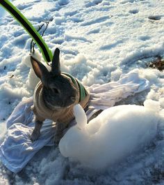 Bunny in a sweater built a snow bunny. With help from the human. Awwww.