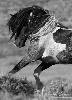 The wild stallion Washakie leaps in the air in front of another stallion.