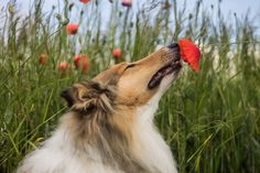 Rough Collie, Smartest Dogs, Fox, Animals, Good Workouts, Everything, Animaux, Animales, Foxes
