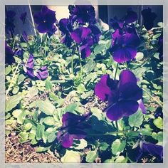 #purple #pansies outside the #johnderian shop #spring