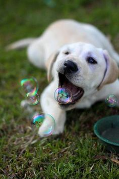 haha aw so cute golden retriever lab puppy eating bubbles (: