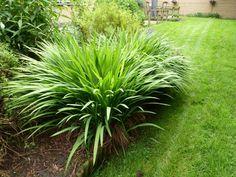 Crocosmia Masoniorum is aardig uitgedijd, na de bloei flink wat weghalen.